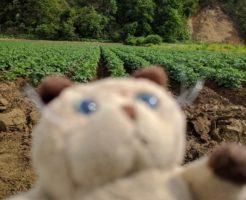 シイタローくんイモ畑に上陸