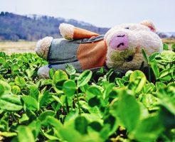 ブタノブくんとクローバー畑